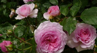 Где в Москве купить английские кустовые розы?