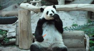 Панды в зоопарке Чианг Мая (Таиланд)