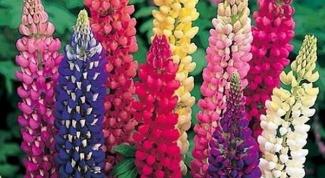 Какие семена цветов лучше для Сибири
