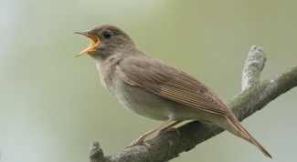 What to feed a Nightingale