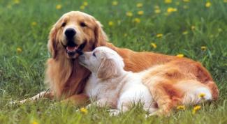 Как прерывают беременность у собаки