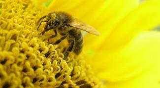 Для чего и как применять пыльцу