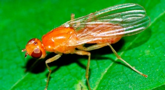 Carrot fly: how to fight it