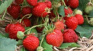 Клубника и земляника: как получить хороший урожай