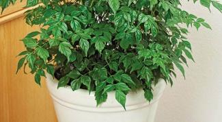 Радермахера, содержание и уход за растением