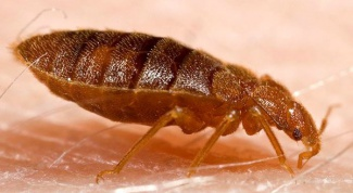 How to deal with bedbugs