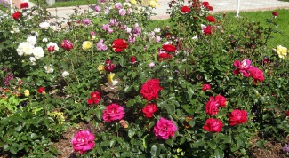 Как помочь перезимовать розам