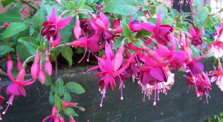 How to buy seeds or seedlings of fuchsia