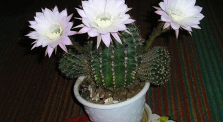 How to achieve flowering cactus