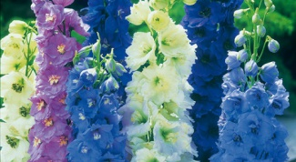 Delphinium: growing from seed, planting and care