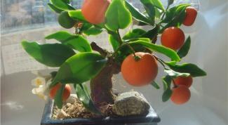 Как ухаживать за комнатным мандарином