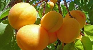 Все о абрикосах: как вырастить деревце