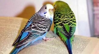Все о попугаях: как кормить