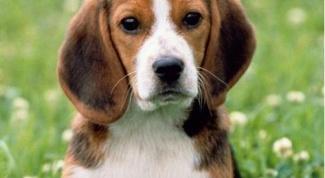 Как у собак выглядит лишай