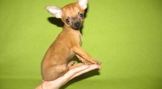 How to feed toy Terrier