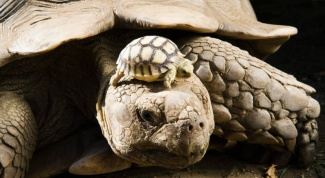 Какие есть сухопутные черепахи