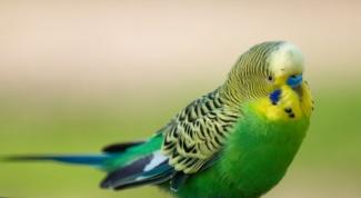 Как играть с волнистым попугаем