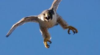 Какие птицы летают быстрее всех