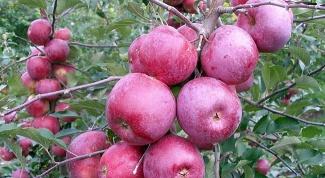 Какие яблони сажать в Подмосковье