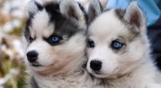 Как выглядят щенки лайки