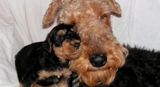 Как выглядит родословная на собак