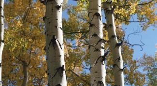 Looks like the aspen tree