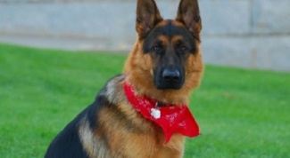 How are the puppies of German shepherd