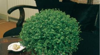 Солейролия, ампельное комнатное растение
