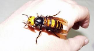 Что делать если укусила оса, пчела или шмель
