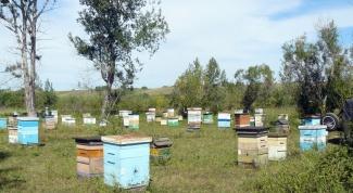 Болезни пчел: как лечить аскосфероз