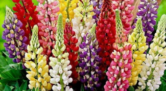 How to propagate the multi-colored lupins