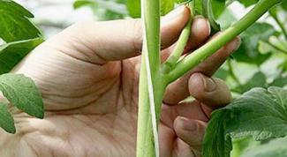 Все о томатах: как пасынковать
