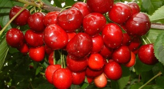 Как и когда плодоносит черешня