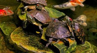 Все о красноухих черепахах: как они размножаются