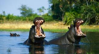 Где водятся бегемоты