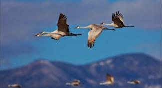Какие птицы относятся к перелетным