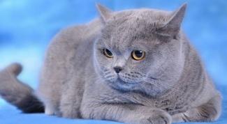 Британская кошка: стандарты породы