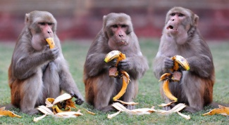 What to eat monkeys