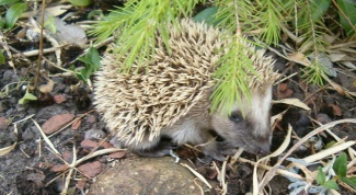 As hedgehogs give birth
