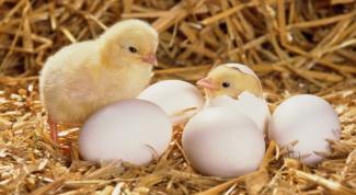 Как выглядит оплодотворенное яйцо у курицы