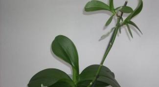 Как выглядят орхидеи с детками