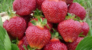 What variety of strawberry is the earliest