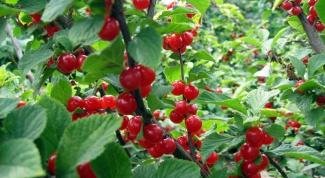 Все о вишне: как ее размножать