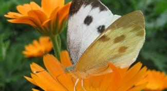 Как избавиться от бабочек-капустниц