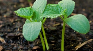 How to plant cucumber seeds seedlings