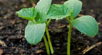 Как посадить семена огурцов на рассаду