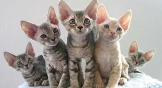 Кошки породы девон-рекс: потомки сказочных эльфов