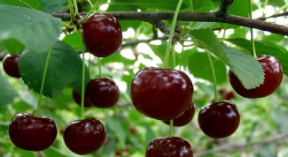 Than ill cherry