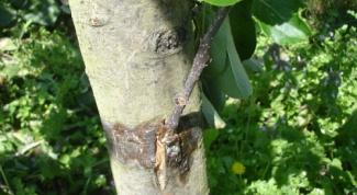 Прививка деревьев - лучший способ разнообразить сад