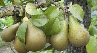 Как проредить яблони и груши
